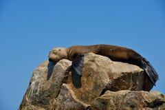 Joint somnolent sur une roche images stock