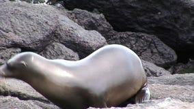Joint sur la plage Galapagos de roches banque de vidéos
