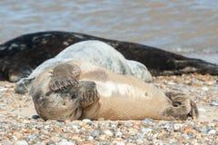 Joint timide sur une plage Photo libre de droits