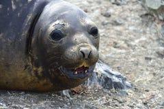 Joints d'éléphant antarctiques Photographie stock libre de droits