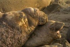 Joints d'éléphant du nord dans l'amour Photo libre de droits