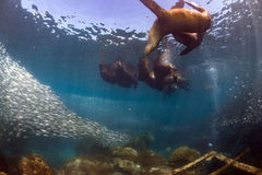 Joints d'otarie après boule d'amorce de sardine Photographie stock libre de droits