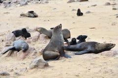 Joints de fourrure de cap, Namibie Photographie stock libre de droits