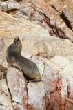 Joints de fourrure et x28 ; lions& x29 de mer ; prenant un bain de soleil sur les falaises rouges d'îles de Ballestas, au Pérou Photographie stock libre de droits