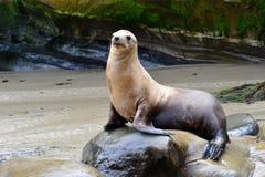 Joints de fourrure sur la plage de La Jolla Images stock