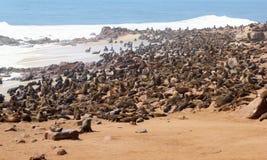 Joints de mer de la colonie mille, croix de cap, Namibie Photos stock