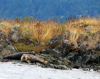 Joints de port camouflés sur le rivage se reposant sur une balise d'avertissement, mer de Salish photo stock