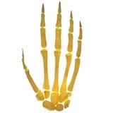 Joints squelettiques humains de doigt Photographie stock libre de droits