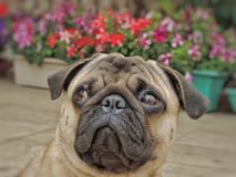 JoJo, the Pug stock images