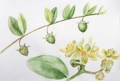 Jojoba - λουλούδια και φρούτα Κλάδοι υψηλό watercolor ποιοτικής ανίχνευσης ζωγραφικής διορθώσεων πλίθας photoshop πολύ ταπετσαρία Στοκ Εικόνα
