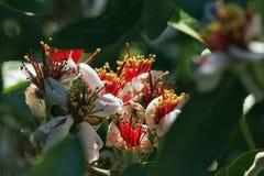 Jojoba flowers in a sunny day stock photo