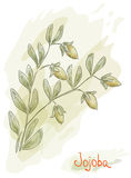 Jojoba branch with fruits. Watercolor style. Stock Photo