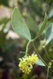 Jojoba (chinensis Simmondsia) Arkivfoton