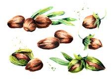 Jojoba compositions set. Watercolor illustration. Jojoba compositions set. Watercolor hand drawn illustration Stock Photography