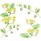 Jojoba - fleurs et fruits Image libre de droits