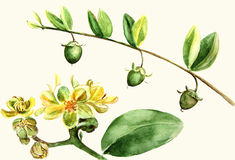 Jojoba - flowers and fruits. Branches. Watercolor painting. Wallpaper. royalty free illustration