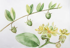 Jojoba - flowers and fruits. Branches. Watercolor painting. Wallpaper. Stock Image