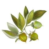 Jojoba fruit, element for organic cosmetics Royalty Free Stock Images
