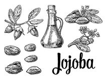 Jojoba fruit with glass jar. Hand drawn vector vintage engraved illustration. Stock Photos
