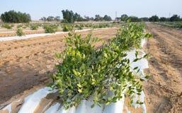 Jojoba installatie Jojoba struiken die bij landbouwbedrijf groeien stock afbeeldingen
