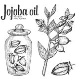 Jojoba nut, seed, fruit, branch, leaf, fruit in glass bottle. Organic oil nutrition healthy food. Engraved hand drawn vintage retr Stock Photos