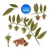 Jojoba nuts, branches and fruits. Hand drawn cosmetics and medical plant. Vector illustration Royalty Free Stock Photo