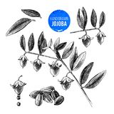 Jojoba nuts, branches and fruits. Hand drawn cosmetics and medical plant. Vector illustration Royalty Free Stock Images