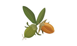 Jojoba Royalty Free Stock Photography