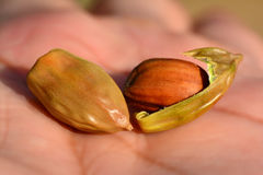 Jojoba seeds. In close up, on  Hand Royalty Free Stock Photo