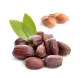 Jojoba (Simmondsia chinensis) leaves with seeds. Royalty Free Stock Images