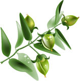 Jojoba on white background Stock Image