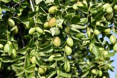Jojoba zielona roślina Zdjęcia Royalty Free