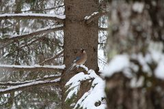 Joke mockingbird. Singing in the winter forest sitting on a spruce branch Stock Photos
