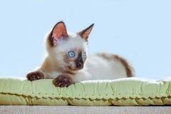 Jokey beige del sol de la ventana de la luz del sol de los ojos azules del gato del pelage de la raza del gatito del pequeño del  foto de archivo