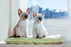 Jokey beige dos del sol de la ventana de la luz del sol de los ojos azules del gato del pelage de la raza del gatito del pequeño  fotos de archivo libres de regalías