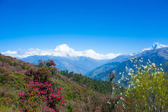 Jokul and flower View from poonhill. View of Mt. Dhaulagiri 8,172m from Poonhill, Nepal royalty free stock photography