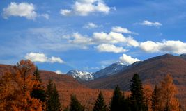 Jokul and forest in autumn. Blue sky, wihte clouds, golden leaves, jokul is between all of them, this is autumn of west-north China Royalty Free Stock Photography