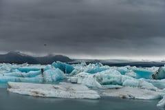 Jokulsarlon冰川盐水湖在冰岛 在鸟黑暗的飞行海洋之上开张海鸥翼 免版税库存照片