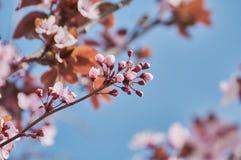Joli arbre d'amande avec les fleurs roses en février photos libres de droits
