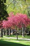 Joli arbre de crabapple de ressort images stock