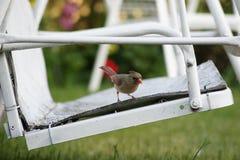 Joli cardinal féminin s'asseyant sur une oscillation blanche photographie stock libre de droits
