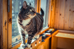 Joli chat domestique masculin dans un arrangement à la maison sur la fenêtre de balcon Photographie stock libre de droits