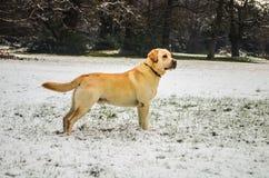 Joli chien d'arrêt de Labrador Photo libre de droits