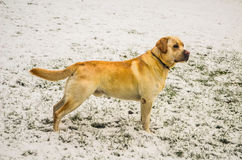 Joli chien d'arrêt de Labrador Photos stock
