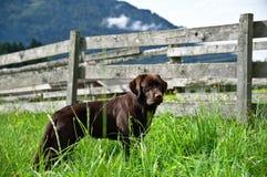 Joli chien d'arrêt de Labrador Photo stock