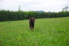Joli chien d'arrêt de Labrador Image libre de droits