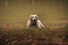 Joli chien d'arrêt de Labrador Photographie stock libre de droits