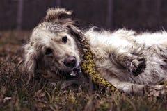 Joli chien d'arrêt de Labrador Image stock