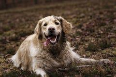 Joli chien d'arrêt de Labrador Images stock
