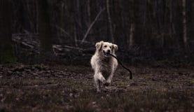 Joli chien d'arrêt de Labrador Photos libres de droits
